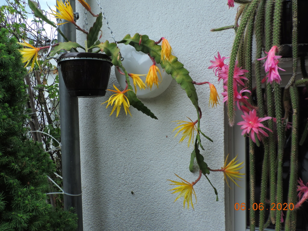 Cacti and Sukkulent in Köln, every day new flowers in the greenhouse Part 237 Bild5512