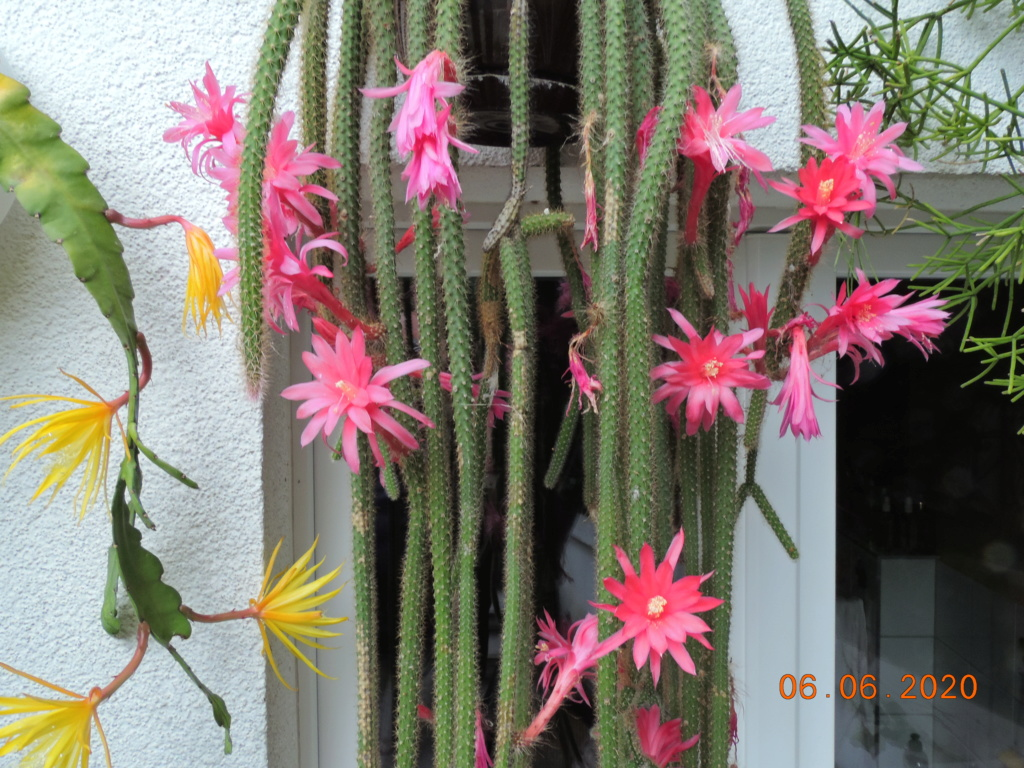 Cacti and Sukkulent in Köln, every day new flowers in the greenhouse Part 237 Bild5514