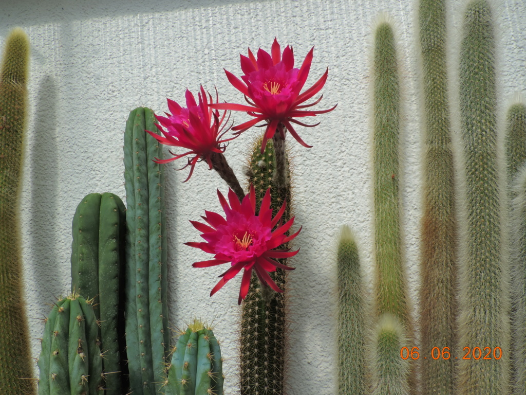 Cacti and Sukkulent in Köln, every day new flowers in the greenhouse Part 237 Bild5515