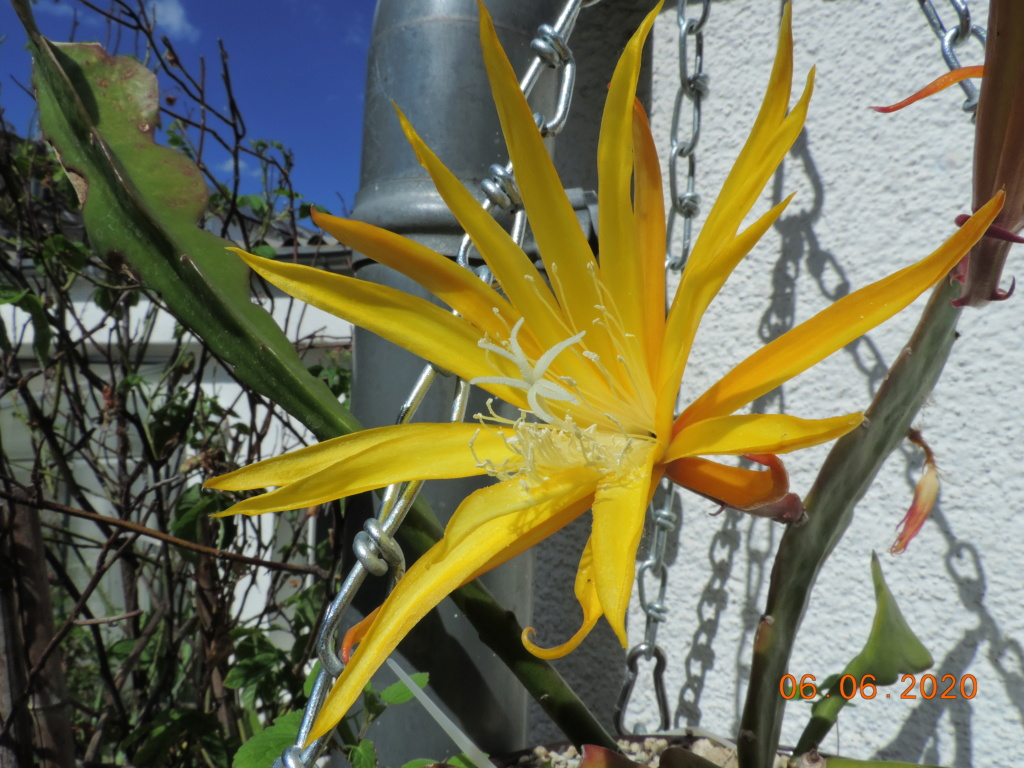 Cacti and Sukkulent in Köln, every day new flowers in the greenhouse Part 237 Bild5516