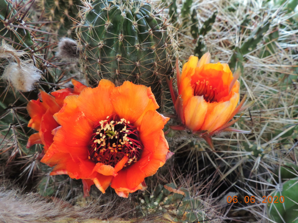 Cacti and Sukkulent in Köln, every day new flowers in the greenhouse Part 237 Bild5518