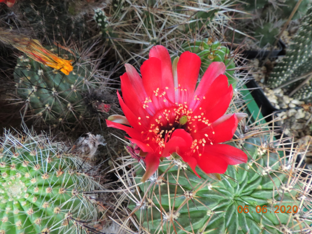 Cacti and Sukkulent in Köln, every day new flowers in the greenhouse Part 237 Bild5519
