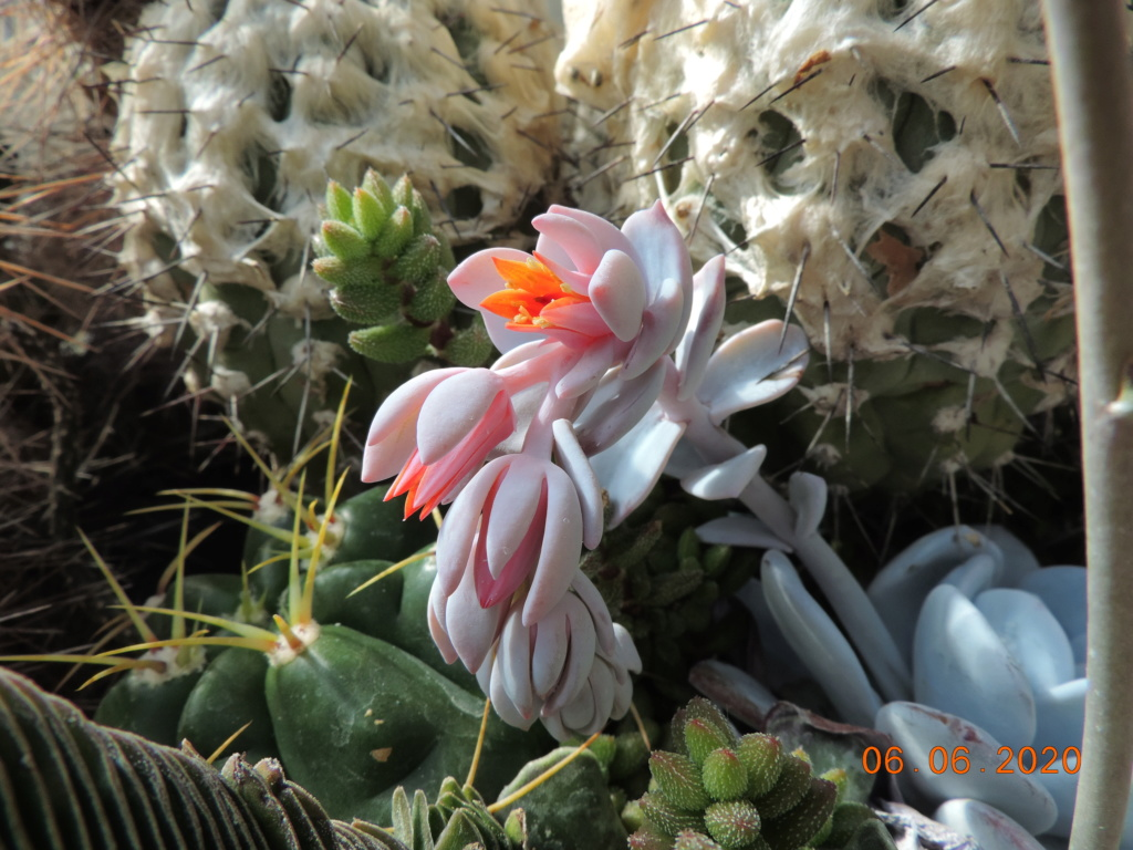 Cacti and Sukkulent in Köln, every day new flowers in the greenhouse Part 237 Bild5520