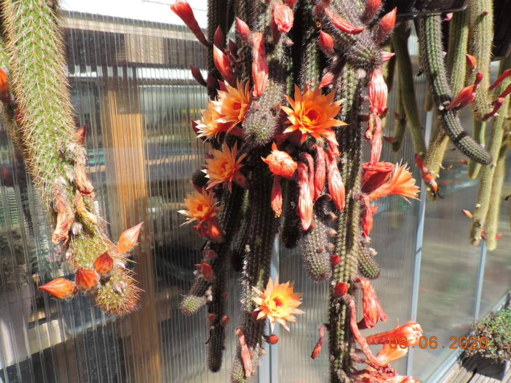 Cacti and Sukkulent in Köln, every day new flowers in the greenhouse Part 237 Bild5521