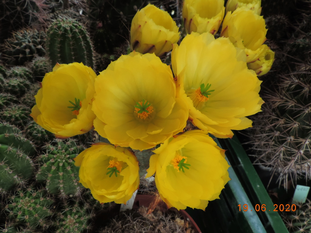 Cacti and Sukkulent in Köln, every day new flowers in the greenhouse Part 237 Bild5528