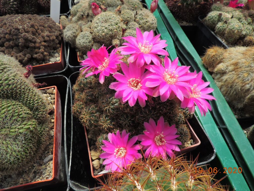 Cacti and Sukkulent in Köln, every day new flowers in the greenhouse Part 237 Bild5532