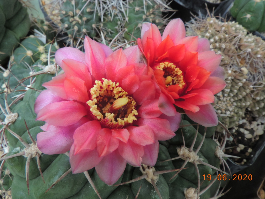 Cacti and Sukkulent in Köln, every day new flowers in the greenhouse Part 237 Bild5535