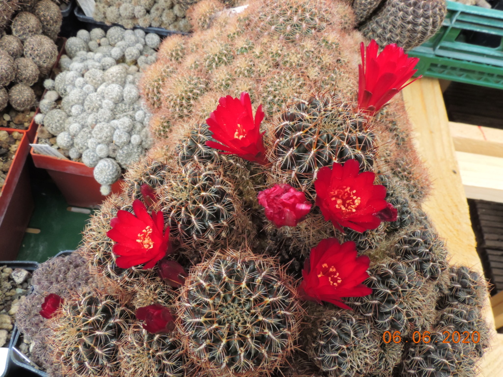 Cacti and Sukkulent in Köln, every day new flowers in the greenhouse Part 237 Bild5537