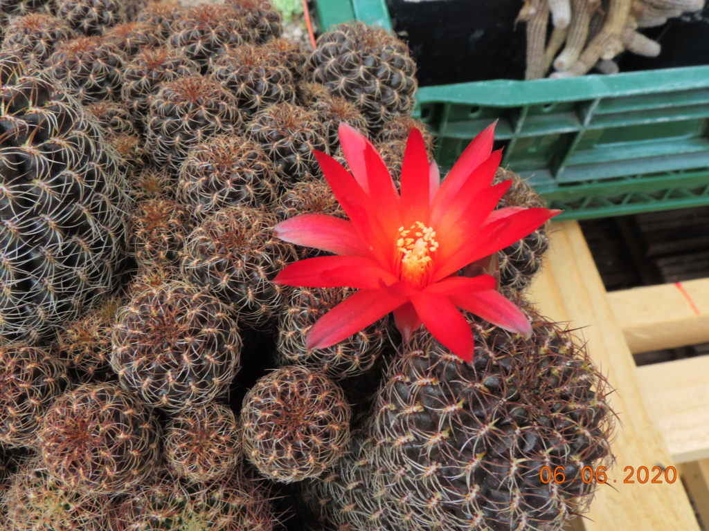 Cacti and Sukkulent in Köln, every day new flowers in the greenhouse Part 237 Bild5538