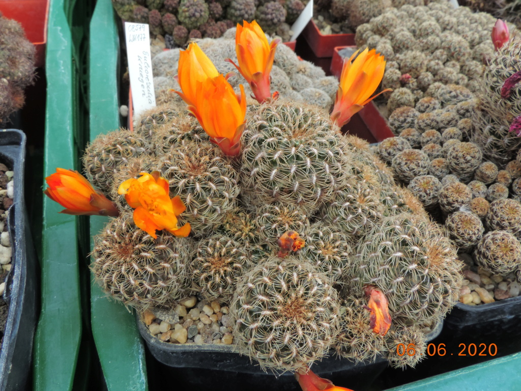 Cacti and Sukkulent in Köln, every day new flowers in the greenhouse Part 237 Bild5542