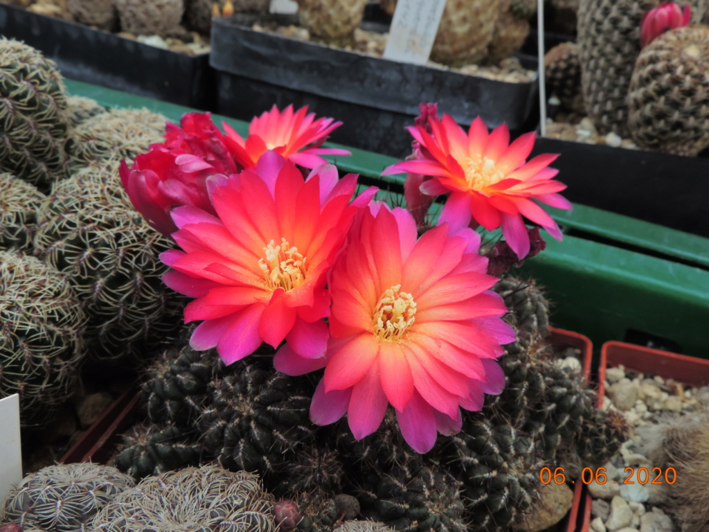 Cacti and Sukkulent in Köln, every day new flowers in the greenhouse Part 237 Bild5543