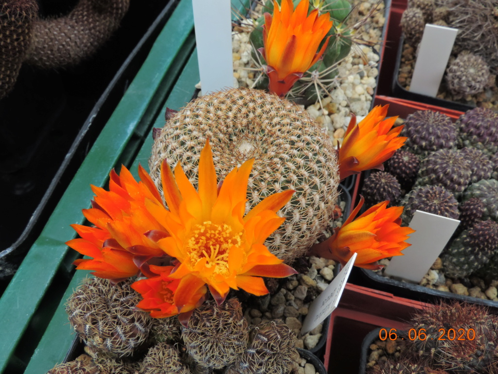 Cacti and Sukkulent in Köln, every day new flowers in the greenhouse Part 237 Bild5547