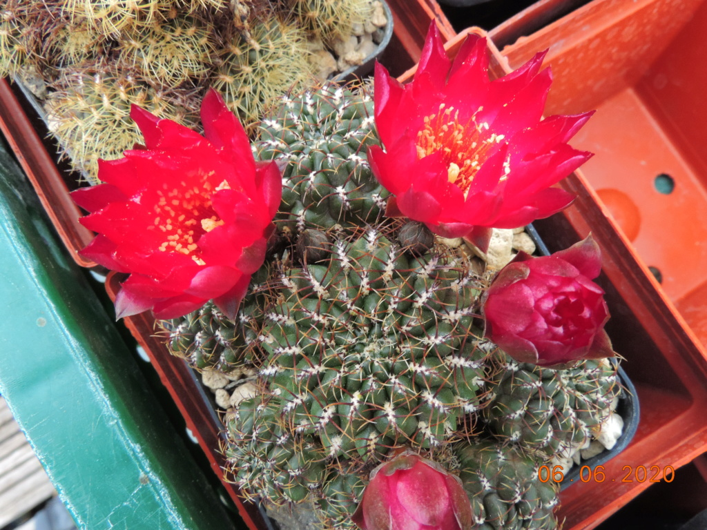 Cacti and Sukkulent in Köln, every day new flowers in the greenhouse Part 237 Bild5551
