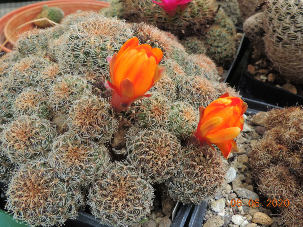 Cacti and Sukkulent in Köln, every day new flowers in the greenhouse Part 237 Bild5552