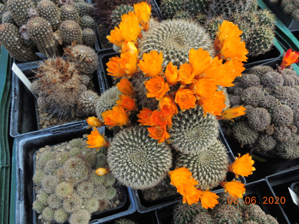 Cacti and Sukkulent in Köln, every day new flowers in the greenhouse Part 237 Bild5554