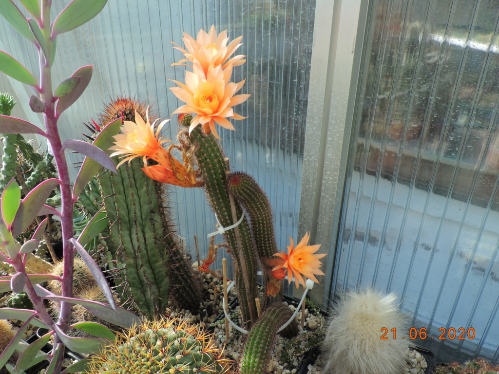 Cacti and Sukkulent in Köln, every day new flowers in the greenhouse Part 237 Bild5558