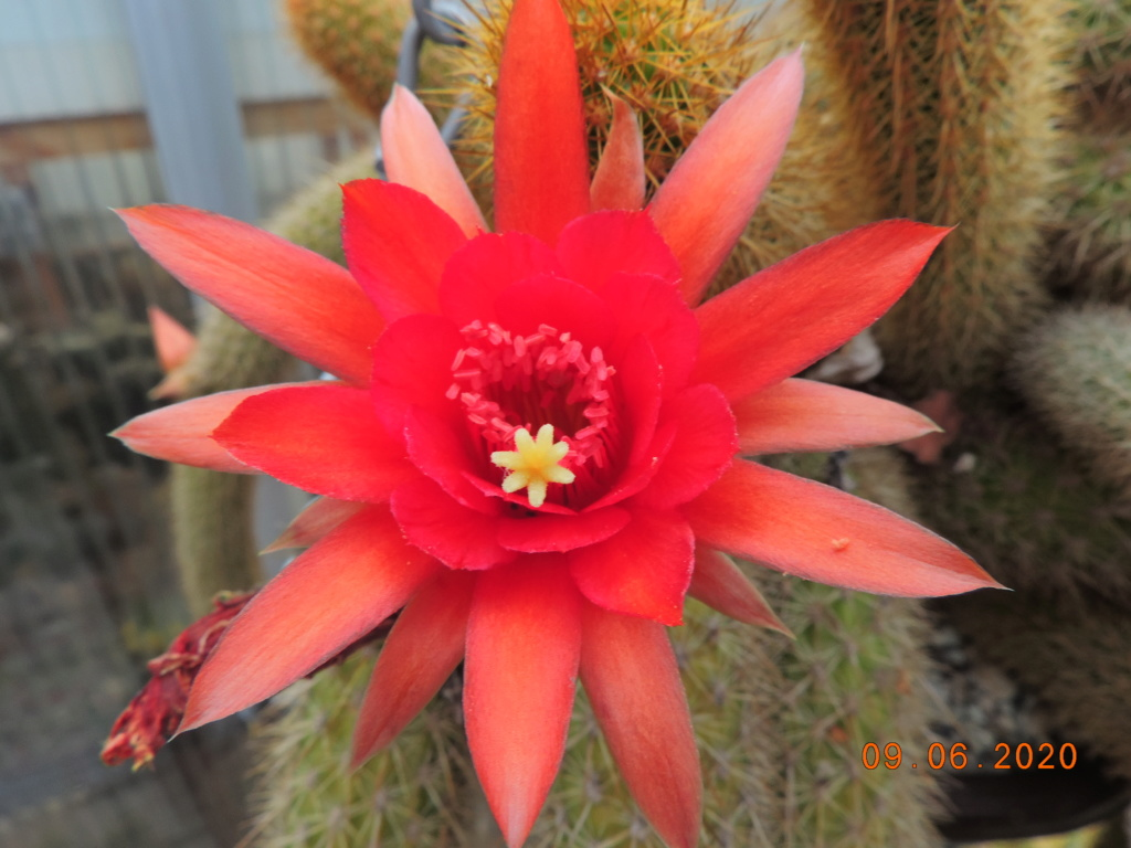 Cacti and Sukkulent in Köln, every day new flowers in the greenhouse Part 237 Bild5561