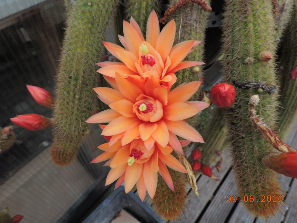 Cacti and Sukkulent in Köln, every day new flowers in the greenhouse Part 237 Bild5563