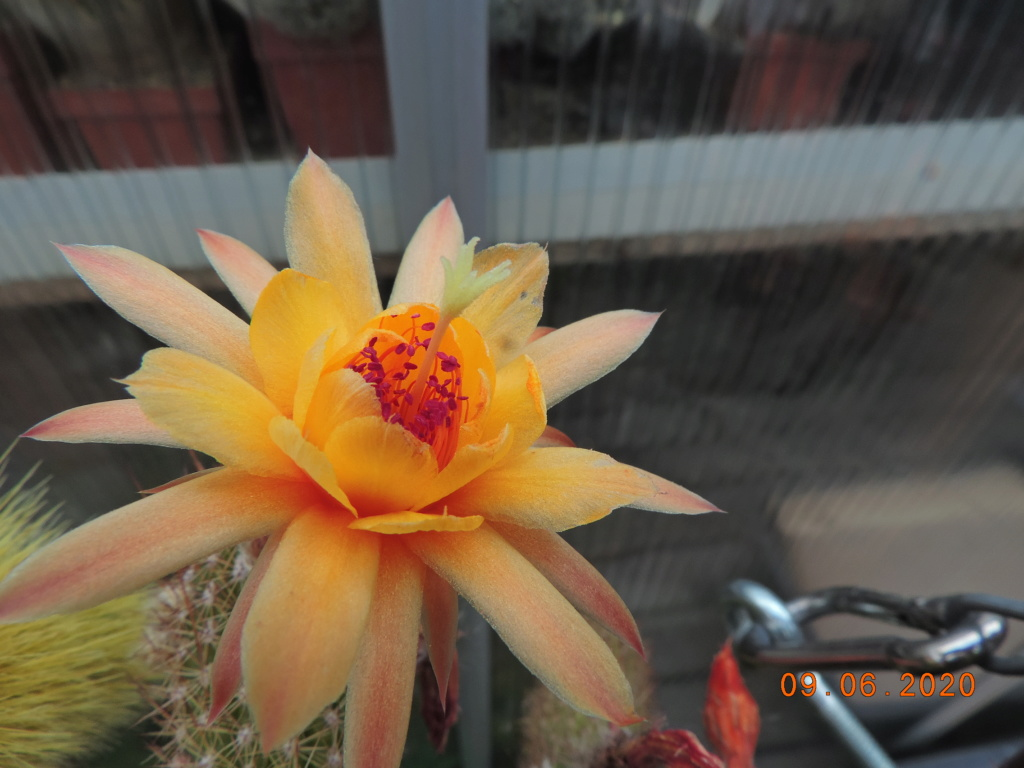 Cacti and Sukkulent in Köln, every day new flowers in the greenhouse Part 237 Bild5564