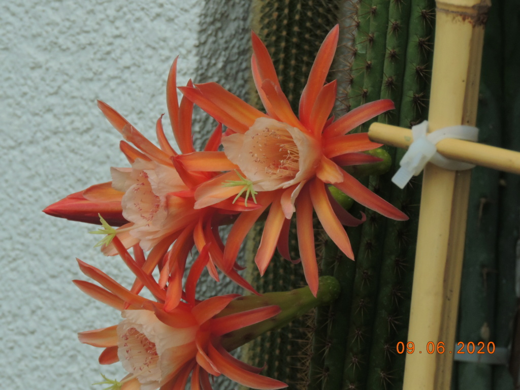 Cacti and Sukkulent in Köln, every day new flowers in the greenhouse Part 237 Bild5570