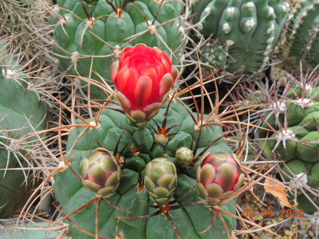 Cacti and Sukkulent in Köln, every day new flowers in the greenhouse Part 237 Bild5572
