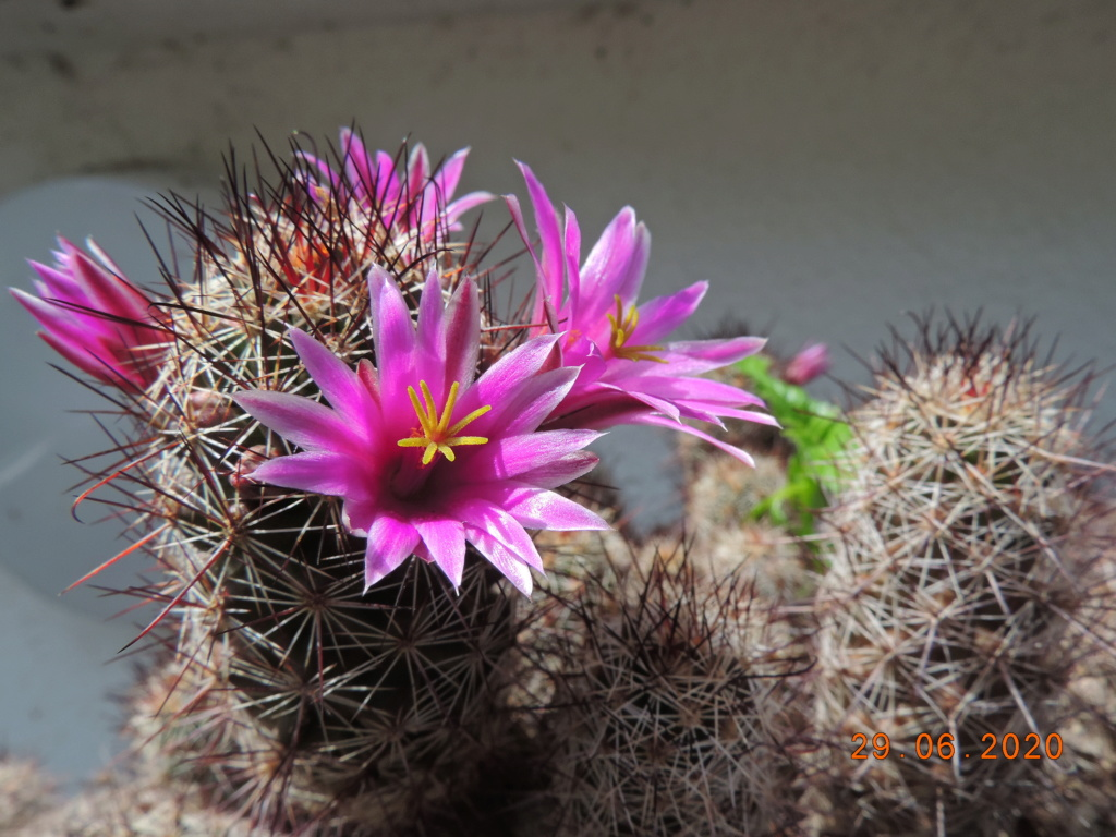 Cacti and Sukkulent in Köln, every day new flowers in the greenhouse Part 237 Bild5576