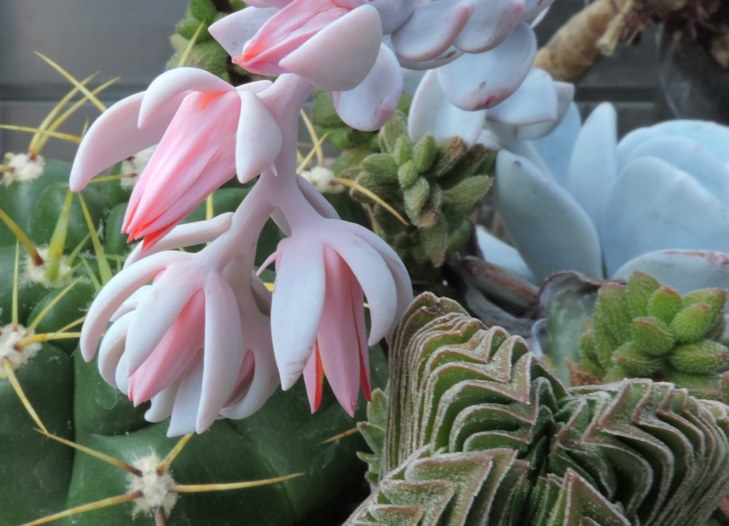 Cacti and Sukkulent in Köln, every day new flowers in the greenhouse Part 237 Bild5591