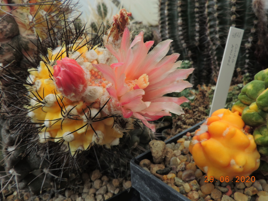 Cacti and Sukkulent in Köln, every day new flowers in the greenhouse Part 237 Bild5594