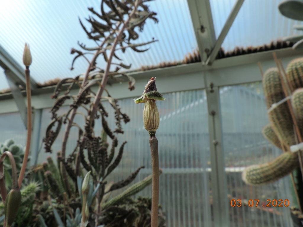 Cacti and Sukkulent in Köln, every day new flowers in the greenhouse Part 237 Bild5603