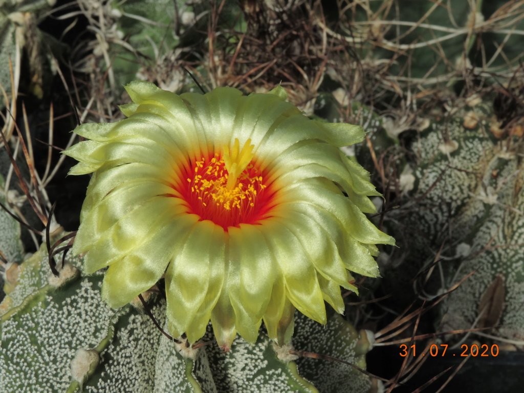 Cacti and Sukkulent in Köln, every day new flowers in the greenhouse Part 240 Bild5818