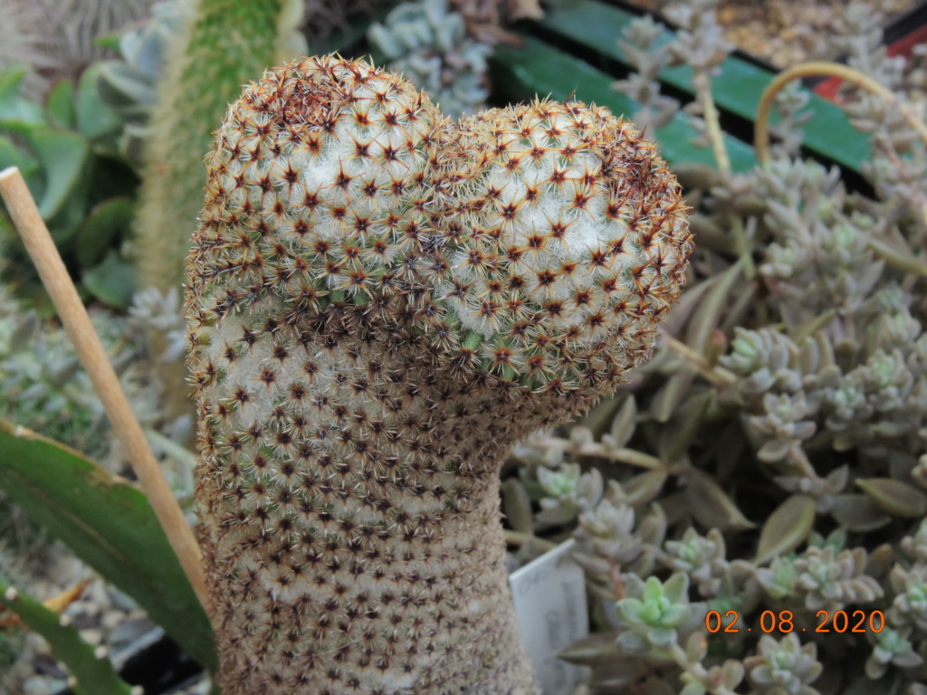 Cacti and Sukkulent in Köln, every day new flowers in the greenhouse Part 240 Bild5832