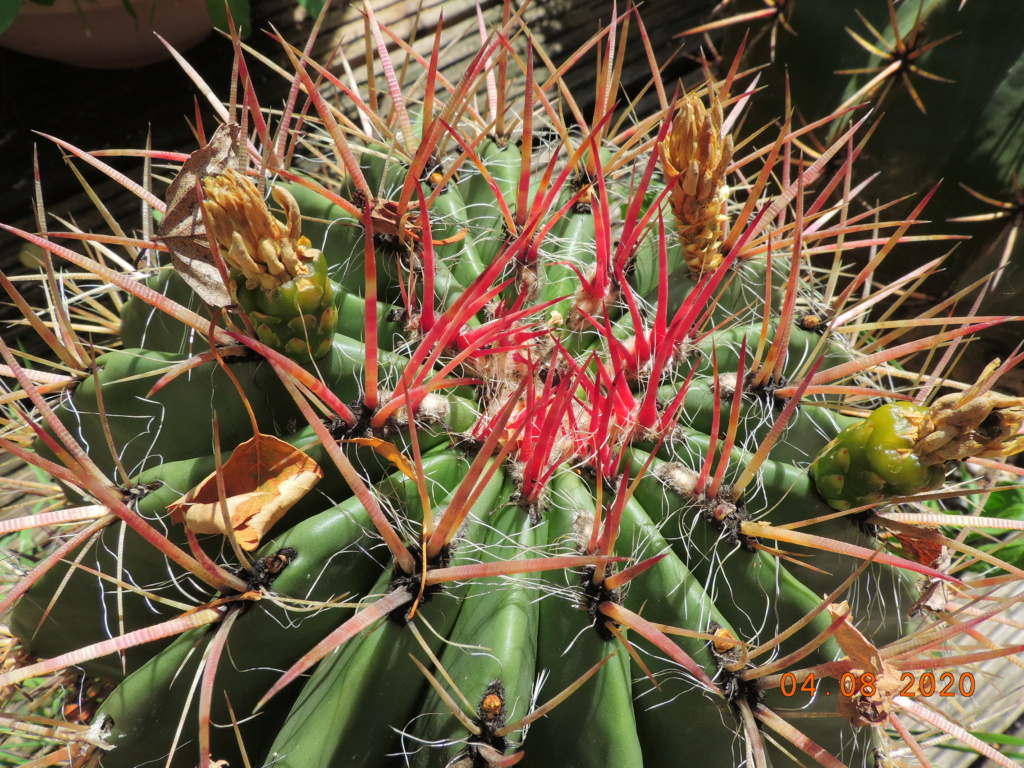 Cacti and Sukkulent in Köln, every day new flowers in the greenhouse Part 240 Bild5844