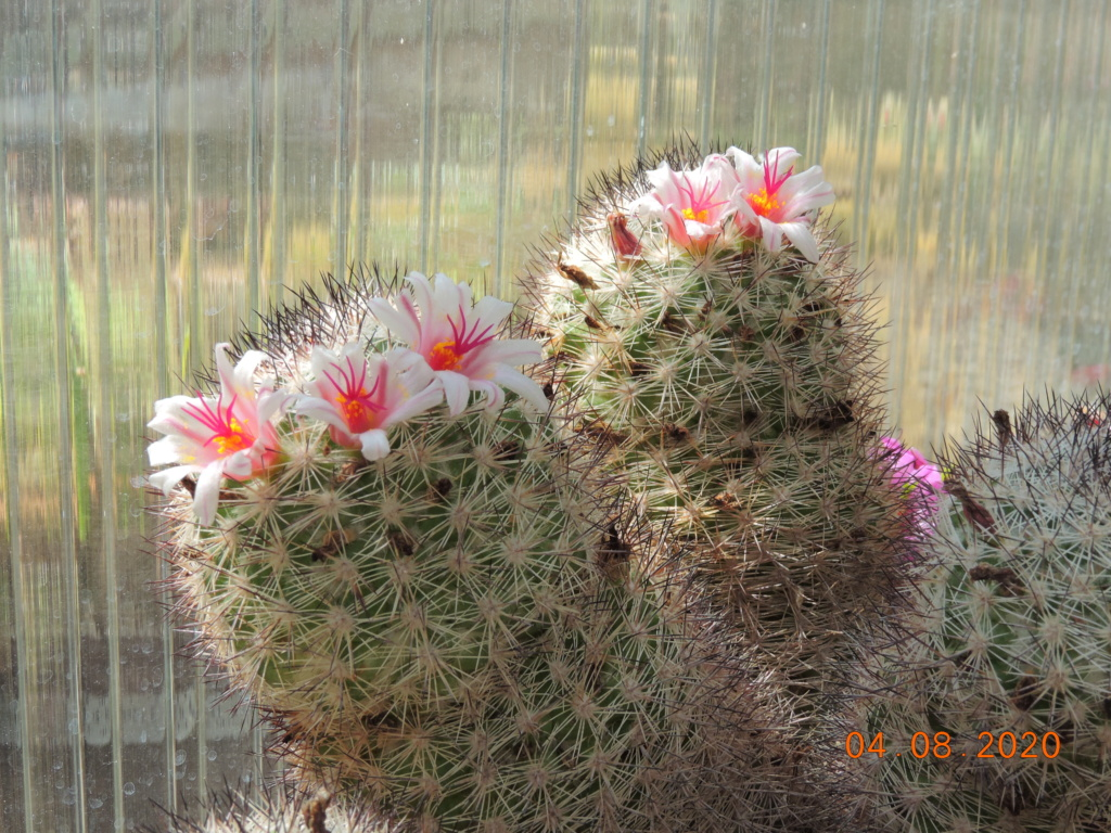 Cacti and Sukkulent in Köln, every day new flowers in the greenhouse Part 240 Bild5857