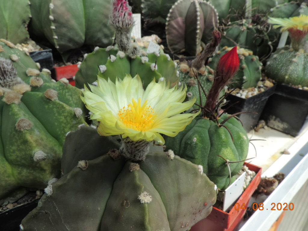 Cacti and Sukkulent in Köln, every day new flowers in the greenhouse Part 240 Bild5867