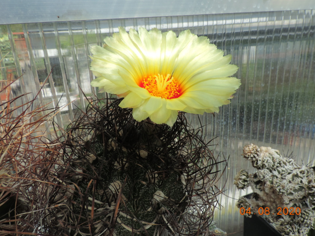 Cacti and Sukkulent in Köln, every day new flowers in the greenhouse Part 240 Bild5872