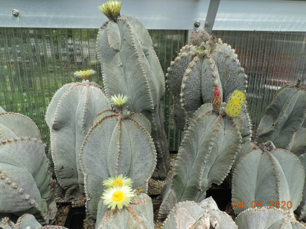 Cacti and Sukkulent in Köln, every day new flowers in the greenhouse Part 240 Bild5875