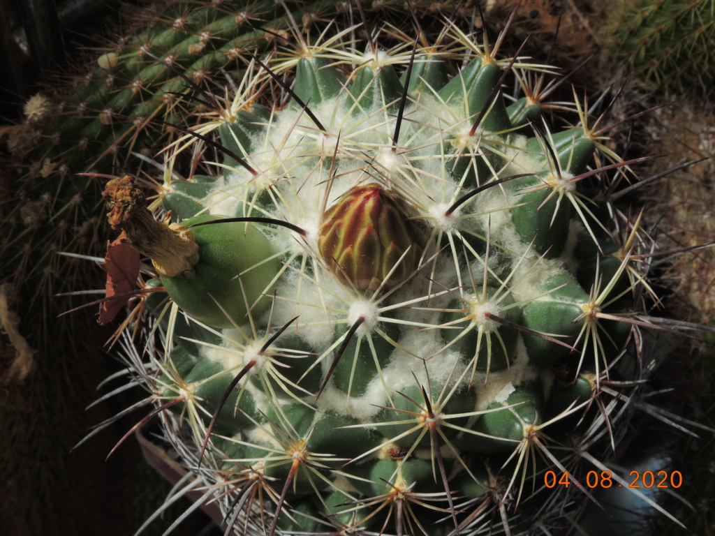 Cacti and Sukkulent in Köln, every day new flowers in the greenhouse Part 240 Bild5881