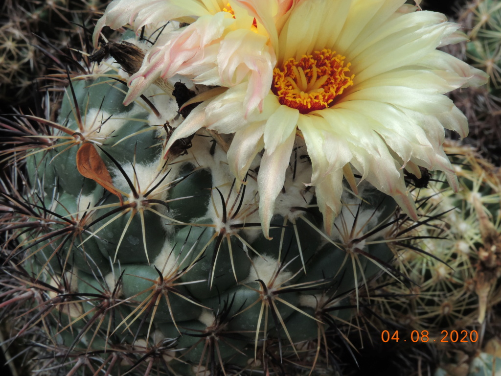 Cacti and Sukkulent in Köln, every day new flowers in the greenhouse Part 240 Bild5884