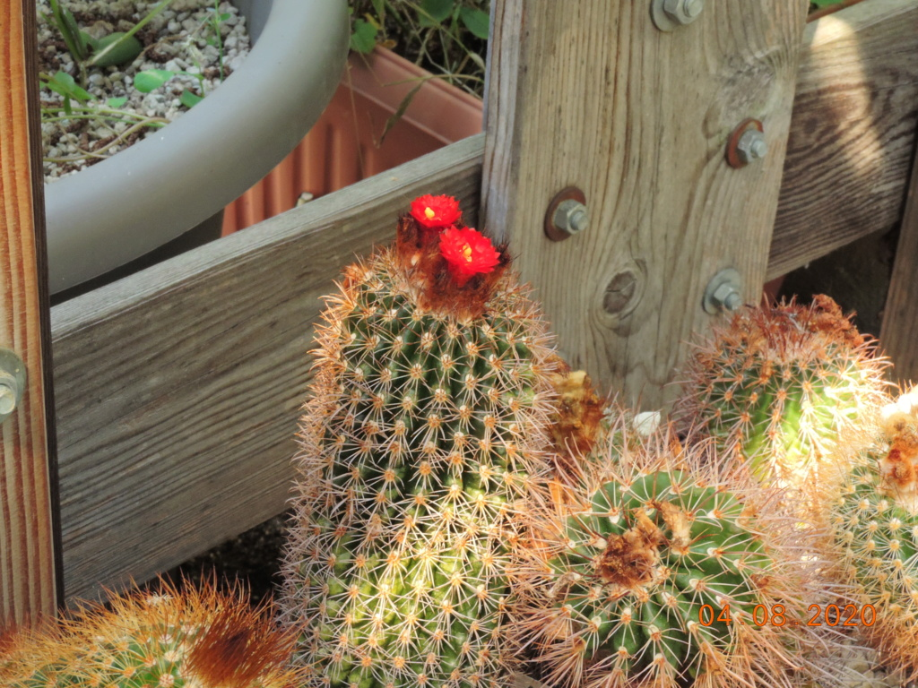 Cacti and Sukkulent in Köln, every day new flowers in the greenhouse Part 240 Bild5888