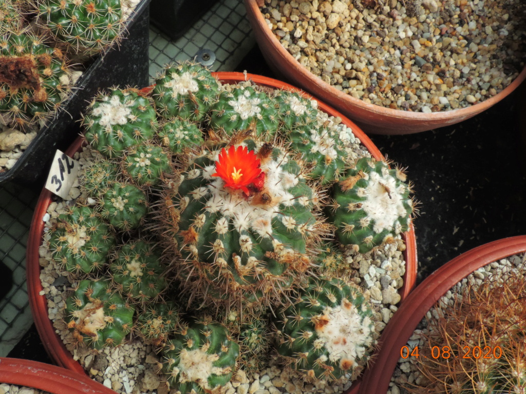 Cacti and Sukkulent in Köln, every day new flowers in the greenhouse Part 240 Bild5893
