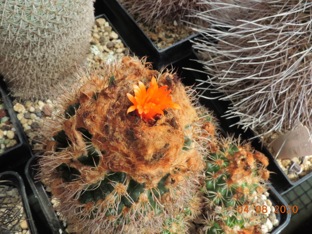 Cacti and Sukkulent in Köln, every day new flowers in the greenhouse Part 240 Bild5894
