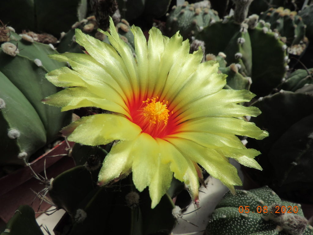 Cacti and Sukkulent in Köln, every day new flowers in the greenhouse Part 240 Bild5917