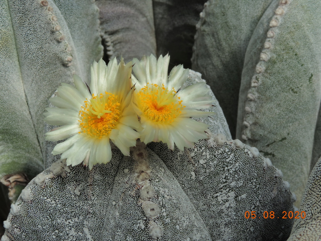 Cacti and Sukkulent in Köln, every day new flowers in the greenhouse Part 240 Bild5920