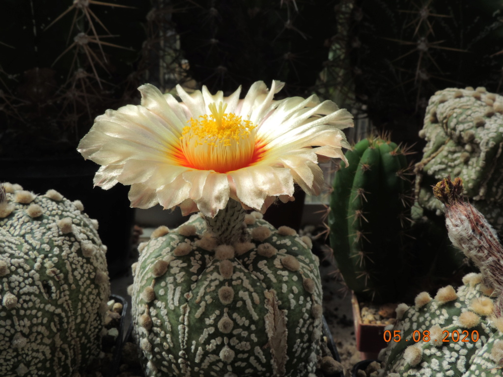 Cacti and Sukkulent in Köln, every day new flowers in the greenhouse Part 240 Bild5923