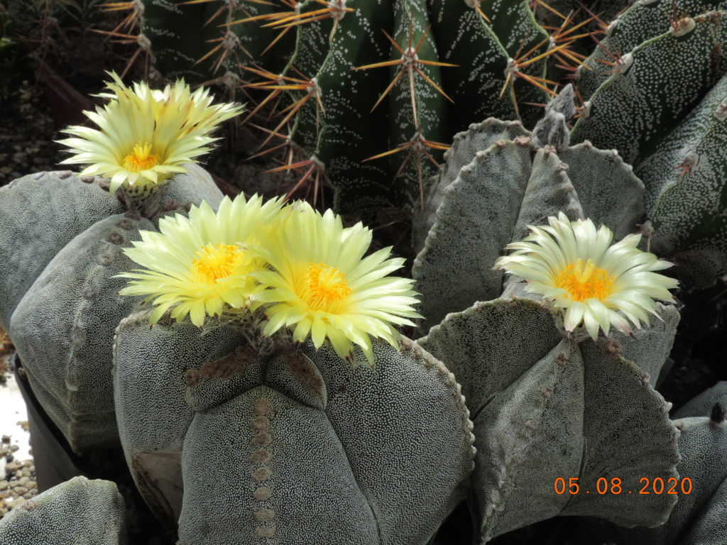 Cacti and Sukkulent in Köln, every day new flowers in the greenhouse Part 240 Bild5924
