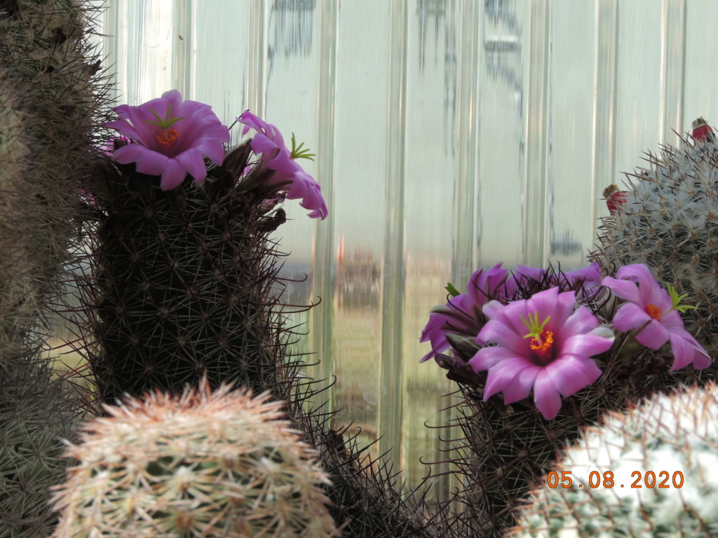 Cacti and Sukkulent in Köln, every day new flowers in the greenhouse Part 240 Bild5929