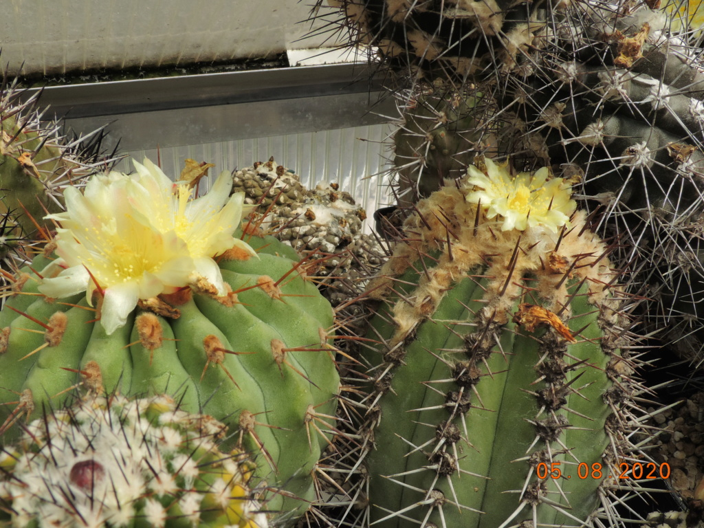 Cacti and Sukkulent in Köln, every day new flowers in the greenhouse Part 240 Bild5947