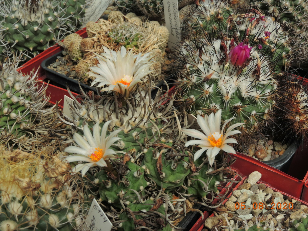 Cacti and Sukkulent in Köln, every day new flowers in the greenhouse Part 240 Bild5956