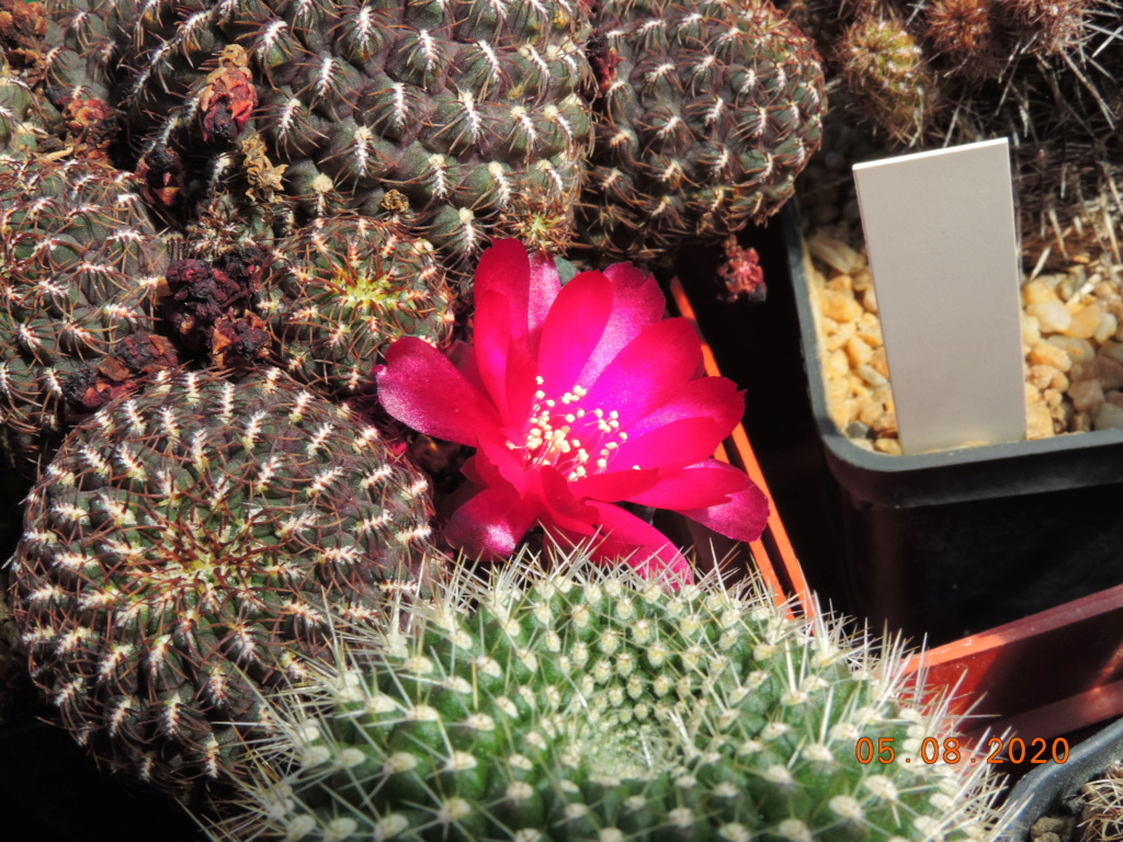 Cacti and Sukkulent in Köln, every day new flowers in the greenhouse Part 240 Bild5962