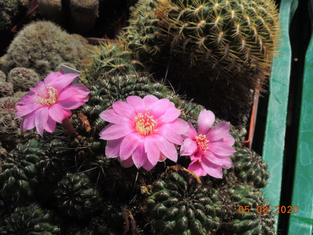 Cacti and Sukkulent in Köln, every day new flowers in the greenhouse Part 240 Bild5963
